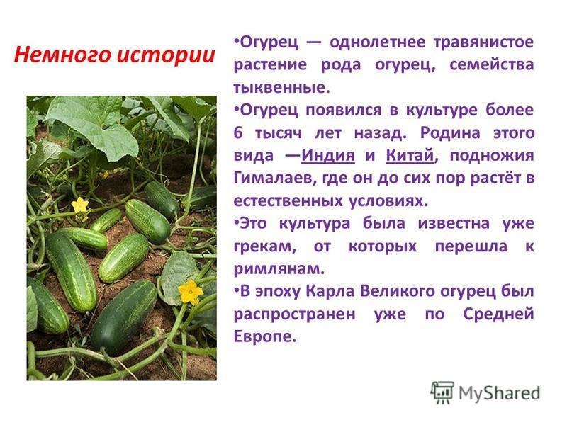 Немного истории Огурец однолетнее травянистое растение рода огурец, семейства тыквенные. Огурец появился в культуре более 6 тысяч лет назад. Родина этого вида Индия и Китай, подножия Гималаев, где он до сих пор растёт в естественных условиях. Это кул