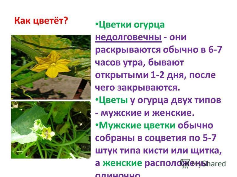 Как цветёт? Цветки огурца недолговечны - они раскрываются обычно в 6-7 часов утра, бывают открытыми 1-2 дня, после чего закрываются. Цветы у огурца двух типов - мужские и женские. Мужские цветки обычно собраны в соцветия по 5-7 штук типа кисти или щи