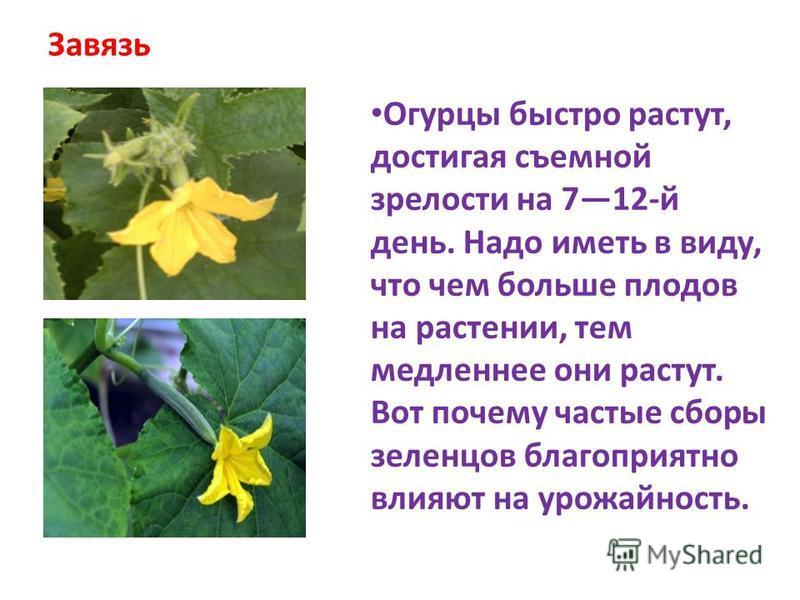 Завязь Огурцы быстро растут, достигая съемной зрелости на 712-й день. Надо иметь в виду, что чем больше плодов на растении, тем медленнее они растут. Вот почему частые сборы зеленцов благоприятно влияют на урожайность.