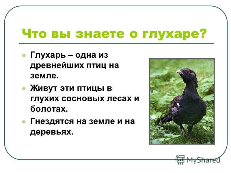 Что вы знаете о глухаре? Глухарь – одна из древнейших птиц на земле. Живут эти птицы в глухих сосновых лесах и болотах. Гнездятся на земле и на деревьях.