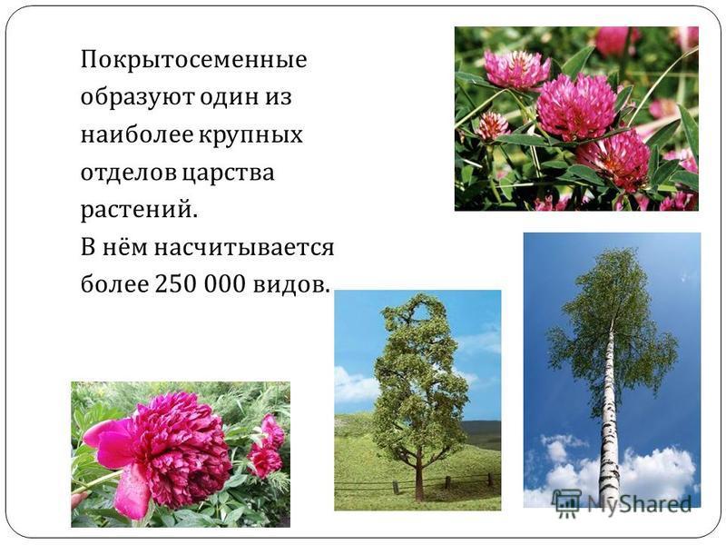 Покрытосеменные образуют один из наиболее крупных отделов царства растений. В нём насчитывается более 250 000 видов.