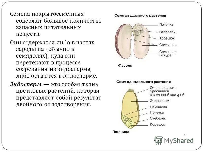 Семена покрытосеменных содержат большое количество запасных питательных веществ. Они содержатся либо в частях зародыша ( обычно в семядолях ), куда они перетекают в процессе созревания из эндосперма, либо остаются в эндосперме. Эндосперм это особая т