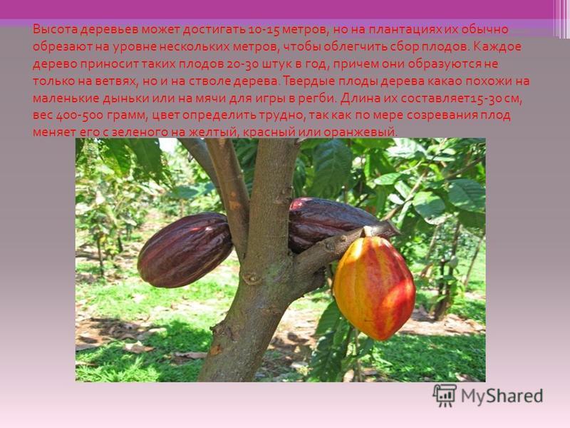 Высота деревьев может достигать 10-15 метров, но на плантациях их обычно обрезают на уровне нескольких метров, чтобы облегчить сбор плодов. Каждое дерево приносит таких плодов 20-30 штук в год, причем они образуются не только на ветвях, но и на ствол