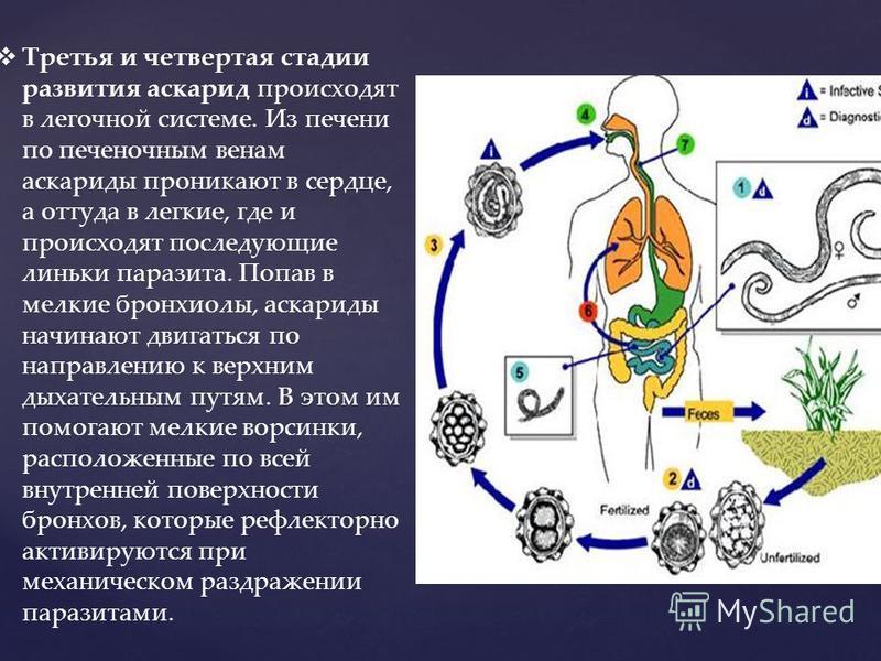 Третья и четвертая стадии развития аскарид происходят в легочной системе. Из печени по печеночным венам аскариды проникают в сердце, а оттуда в легкие, где и происходят последующие линьки паразита. Попав в мелкие бронхиолы, аскариды начинают двигатьс