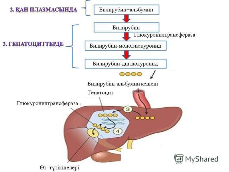 Билирубин-диглюкуронид Билирубин+альбумин Билирубин Глюкуронилтрансфераза Билирубин-моноглюкуронид Билирубин-альбумин кешені Өт түтікшелері Глюкуронилтрансфераза Гепатоцит