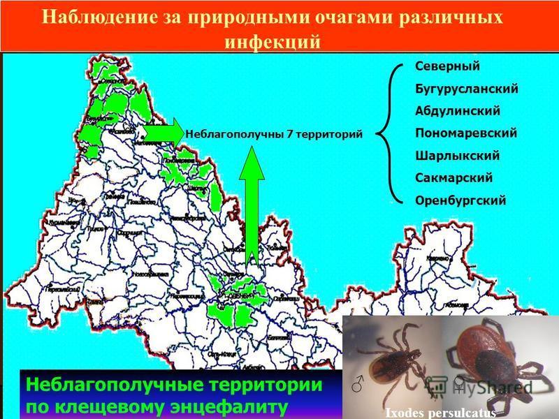 Наблюдение за природными очагами различных инфекций Северный Бугурусланский Абдулинский Пономаревский Шарлыкский Сакмарский Оренбургский Неблагополучны 7 территорий Неблагополучные территории по клещевому энцефалиту Ixodes persulcatus