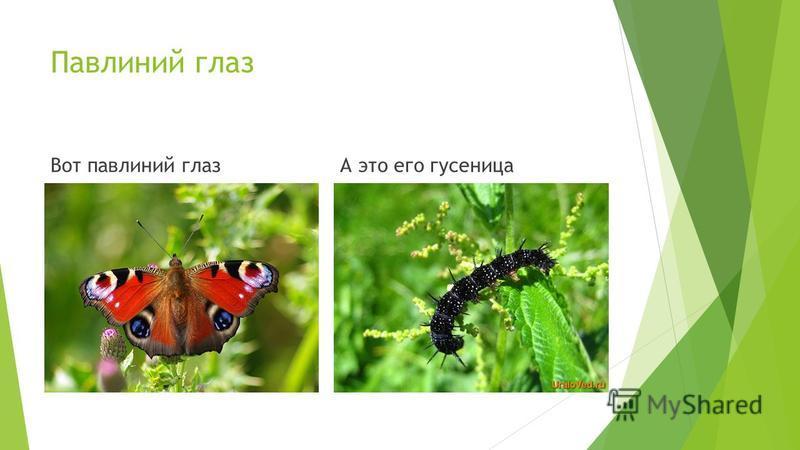 Павлиний глаз Вот павлиний глазА это его гусеница