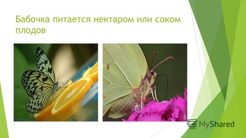 Бабочка питается нектаром или соком плодов