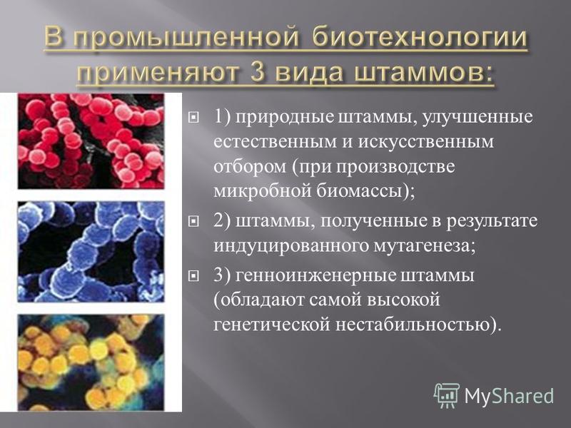 1) природные штаммы, улучшенные естественным и искусственным отбором ( при производстве микробной биомассы ); 2) штаммы, полученные в результате индуцированного мутагенеза ; 3) генно-инженерные штаммы ( обладают самой высокой генетической нестабильно