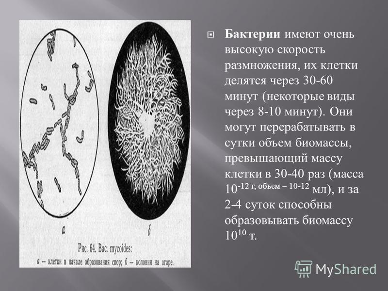 Бактерии имеют очень высокую скорость размножения, их клетки делятся через 30-60 минут ( некоторые виды через 8-10 минут ). Они могут перерабатывать в сутки объем биомассы, превышающий массу клетки в 30-40 раз ( масса 10 -12 г, объем – 10-12 мл ), и