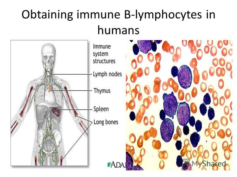 Obtaining immune B-lymphocytes in humans