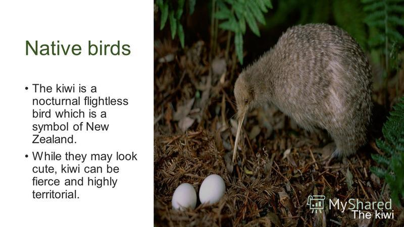Native birds The kiwi is a nocturnal flightless bird which is a symbol of New Zealand. While they may look cute, kiwi can be fierce and highly territorial. The kiwi