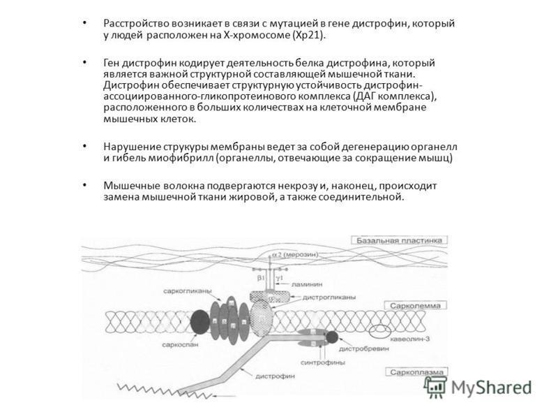 Расстройство возникает в связи с мутацией в гене дистрофия, который у людей расположен на Х-хромосоме (Xp21). Ген дистрофия кодирует деятельность белка дистрофияа, который является важной структурной составляющей мышечной ткани. Дистрофин обеспечивае