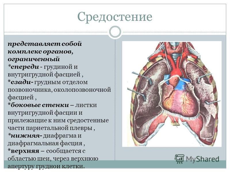 Средостение представляет собой комплекс органов, ограниченный *спереди - грудиной и внутригрудной фасцией, *сзади- грудным отделом позвоночника, околопозвоночной фасцией, *боковые стенки – листки внутригрудной фасции и прилежащие к ним средостенные ч