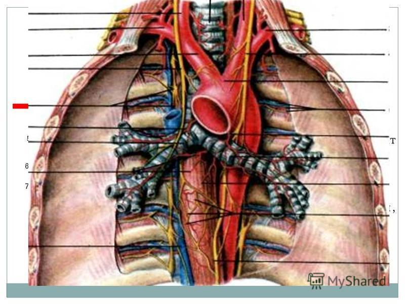 Границей между верхним и нижним средостением служит условная линия проведенная на уровне верхнего края корней легких ( бифуркация трахеи ), что соответствует сзади 4-5 грудным позвонкам, и 2-3 межреберью спереди.
