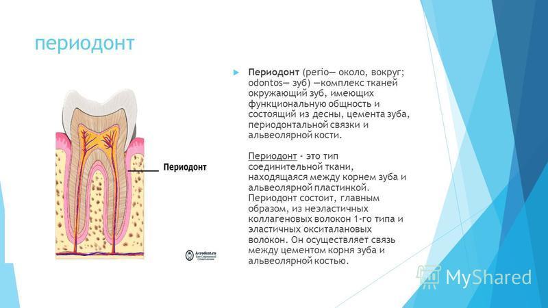 периодонт Периодонт (perio около, вокруг; odontos зуб) комплекс тканей окружающий зуб, имеющих функциональную общность и состоящий из десны, цемента зуба, периодонтальной связки и альвеолярной кости. Периодонт - это тип соединительной ткани, находяща