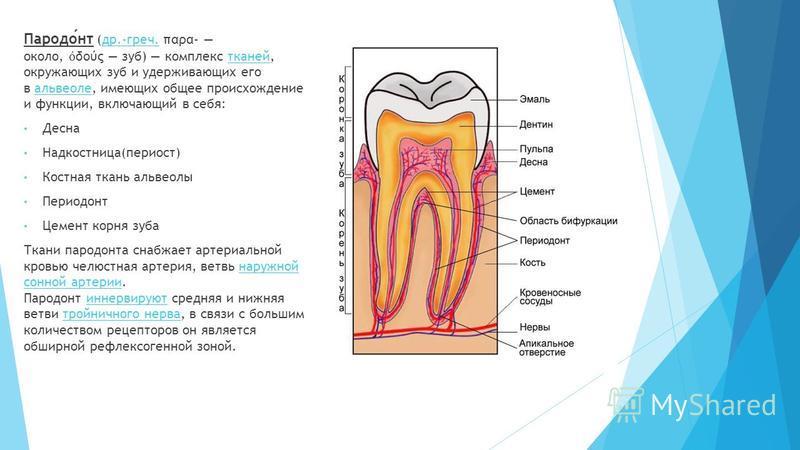 Пародонт (др.-греч. παρα- около, δούς зуб) комплекс тканей, окружающих зуб и удерживающих его в альвеоле, имеющих общее происхождение и функции, включающий в себя:др.-греч.тканейальвеоле Десна Надкостница(периост) Костная ткань альвеолы Периодонт Цем