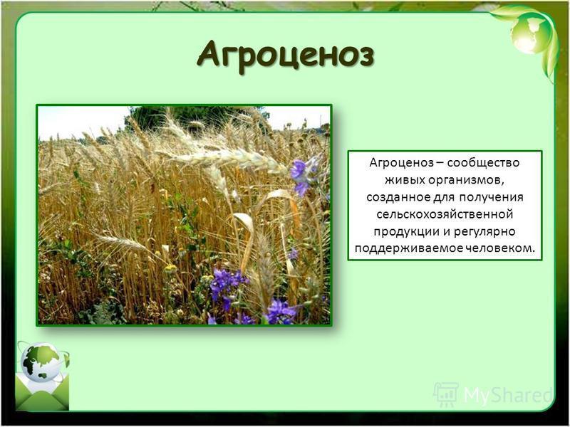 Агроценоз Агроценоз – сообщество живых организмов, созданное для получения сельскохозяйственной продукции и регулярно поддерживаемое человеком.