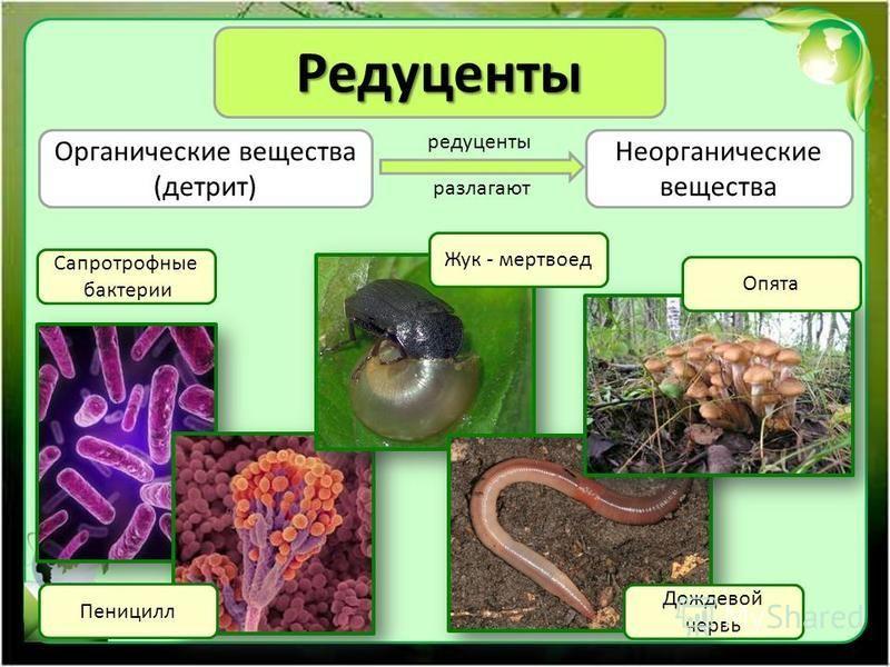 Редуценты Органические вещества (детрит) Неорганические вещества Сапротрофные бактерии редуценты разлагают Пеницилл Жук - мертвоед Дождевой червь Опята