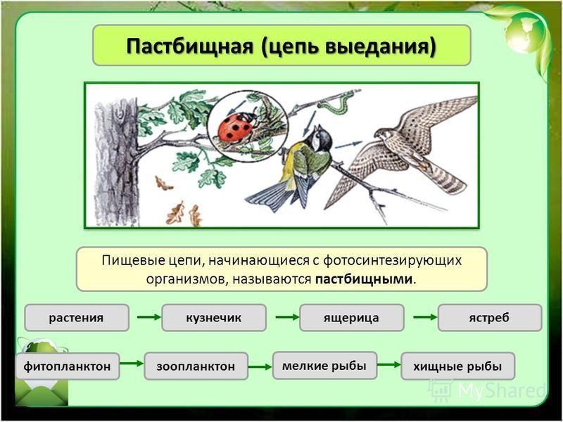 Пастбищная (цепь выедания) Пищевые цепи, начинающиеся с фотосинтезирующих организмов, называются пастбищными. растениякузнечикящерицаястреб фитопланктон зоопланктон мелкие рыбы хищные рыбы
