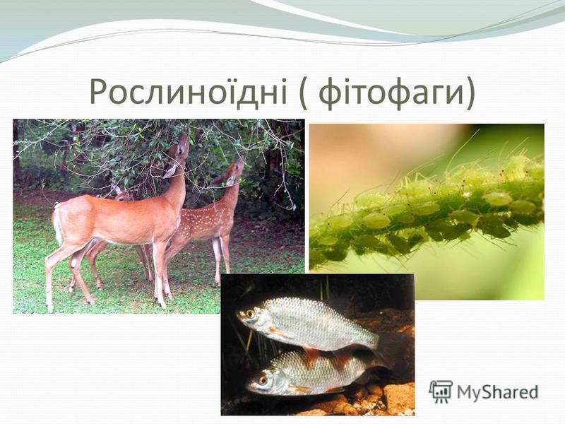 Рослиноїдні ( фітофаги)