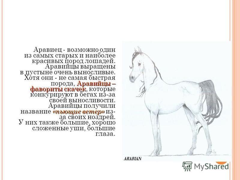фаворит ковбоев А эта лошадь - фаворит ковбоев Америки. Они очень выносливы. Их задние конечности обычно очень мускульные и мощные. Из всех пород таких лошадей, эта лошадь один из самых быстрых бегунов.