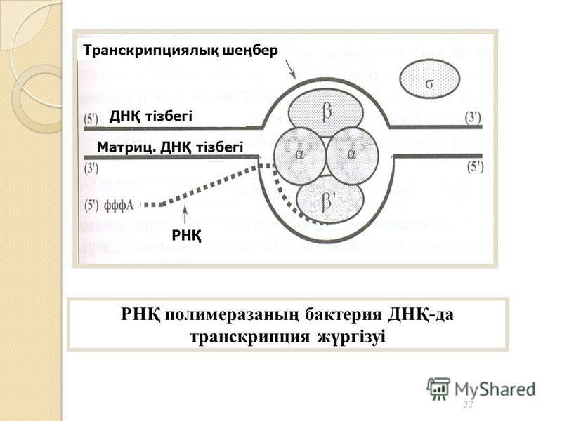 РНҚ полимеразаның бактерия ДНҚ-да транскрипция жүргізуі Транскрипциялық шеңбер РНҚ ДНҚ тізбегі Матриц. ДНҚ тізбегі 27