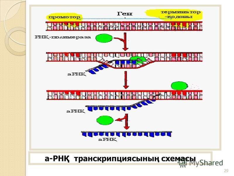 а-РНҚ транскрипциясының схемасы 29