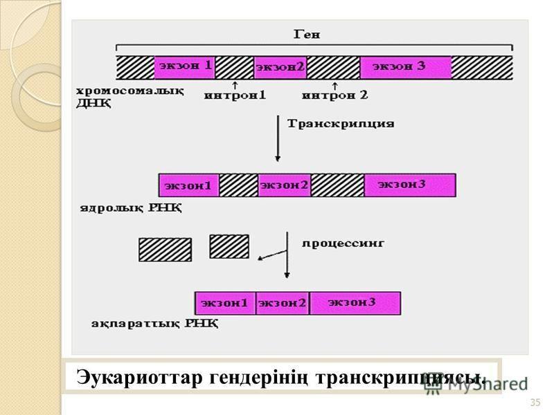 Эукариоттар гендерінің транскрипциясы. 35