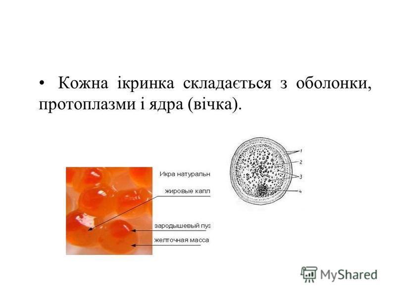 Кожна ікринка складається з оболонки, протоплазми і ядра (вічка).