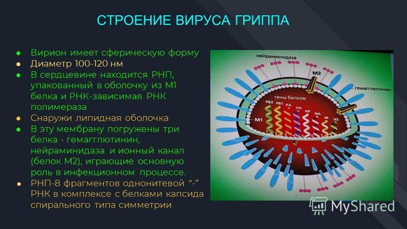 Вирион имеет сферическую форму Диаметр 100-120 нм В сердцевине находится РНП, упакованный в оболочку из М1 белка и РНК-зависимая РНК полимераза Снаружи липидная оболочка В эту мембрану погружены три белка - гемагглютинин, нейраминидаза и ионный канал