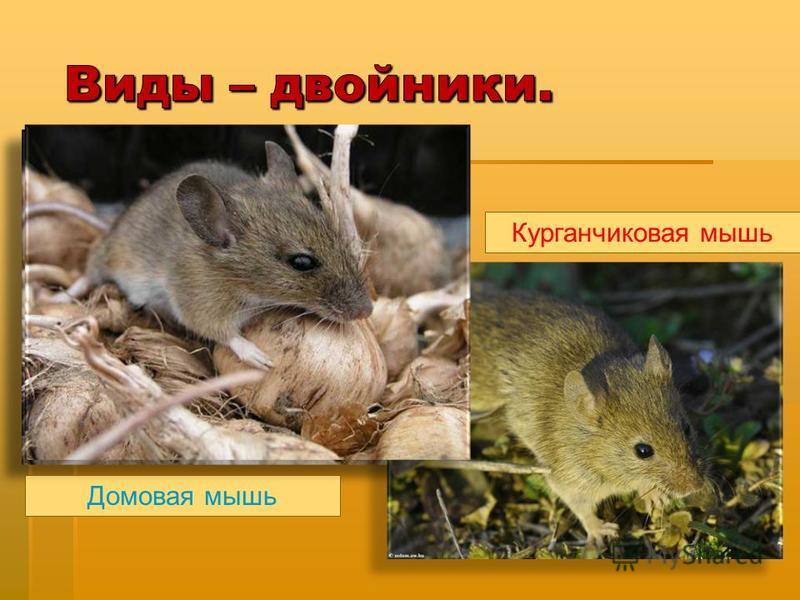 Домовая мышь Курганчиковая мышь