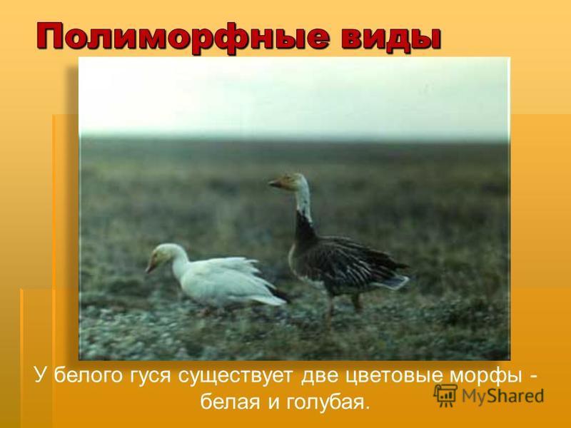 У белого гуся существует две цветовые морфы - белая и голубая.