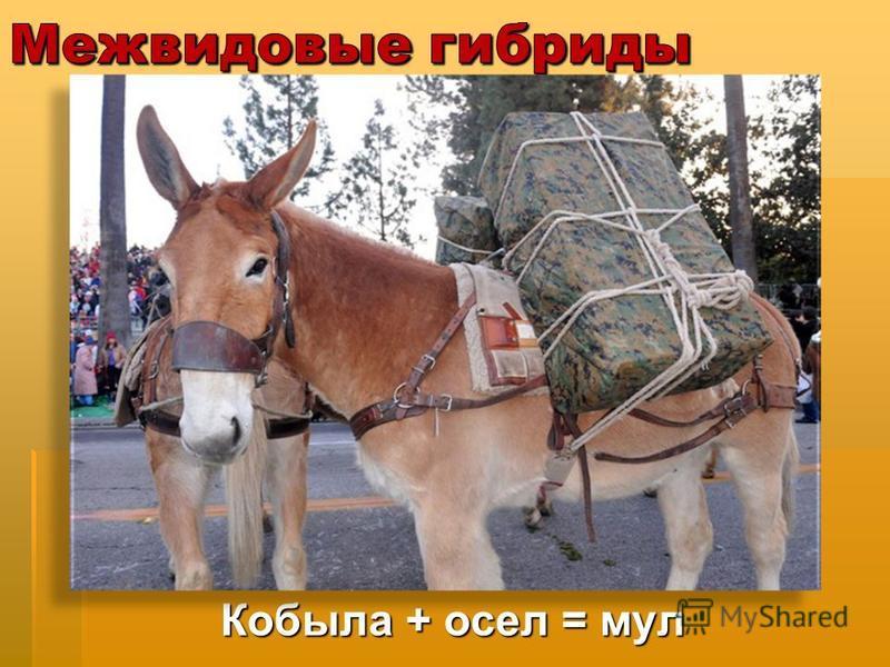 Кобыла + осел = мул