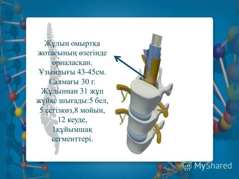 Жұлин омыртқа жотасының өзегінде орналасқан. Ұзындығы 43-45 см. Салмағы 30 г. Жұлиннан 31 жұп жүйке шығады:5 бел, 5 сегізкөз,8 мойын, 12 куеде, 1құйымшақ сегменттері.
