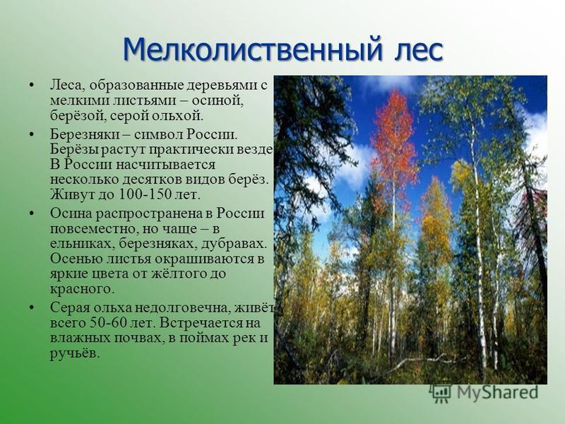 Мелколиственный лес Леса, образованные деревьями с мелкими листьями – осиной, берёзой, серой ольхой. Березняки – символ России. Берёзы растут практически везде. В России насчитывается несколько десятков видов берёз. Живут до 100-150 лет. Осина распро
