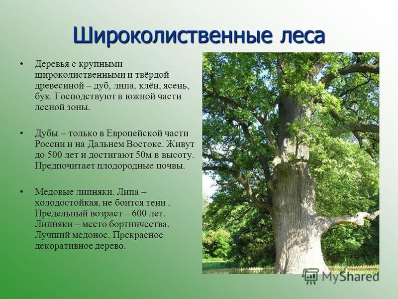 Широколиственные леса Деревья с крупными широколиственными и твёрдой древесиной – дуб, липа, клён, ясень, бук. Господствуют в южной части лесной зоны. Дубы – только в Европейской части России и на Дальнем Востоке. Живут до 500 лет и достигают 50 м в