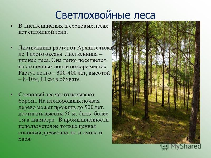 В лиственничных и сосновых лесах нет сплошной тени. Лиственница растёт от Архангельска до Тихого океана. Лиственница – пионер леса. Она легко поселяется на оголённых после пожара местах. Растут долго – 300-400 лет, высотой – 8-10 м, 10 см в обхвате.