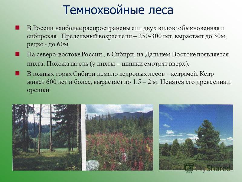 Темнохвойные леса В России наиболее распространены ели двух видов: обыкновенная и сибирская. Предельный возраст ели – 250-300 лет, вырастает до 30 м, редко - до 60 м. На северо-востоке России, в Сибири, на Дальнем Востоке появляется пихта. Похожа на