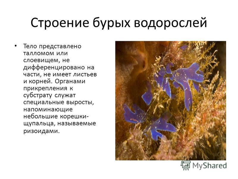 Строение бурых водорослей Тело представлено талломом или слоевищем, не дифференцировано на части, не имеет листьев и корней. Органами прикрепления к субстрату служат специальные выросты, напоминающие небольшие корешки- щупальца, называемые ризоидами.