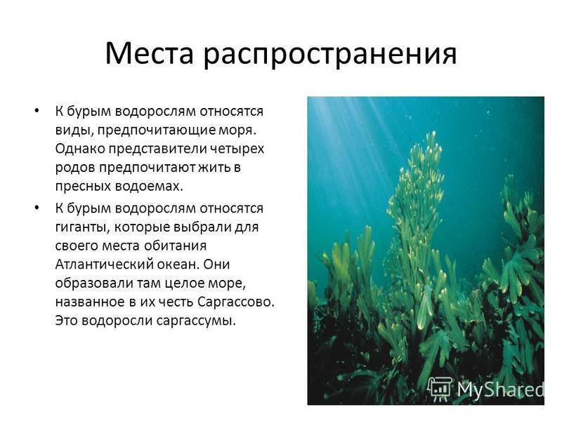 Места распространения К бурым водорослям относятся виды, предпочитающие моря. Однако представители четырех родов предпочитают жить в пресных водоемах. К бурым водорослям относятся гиганты, которые выбрали для своего места обитания Атлантический океан