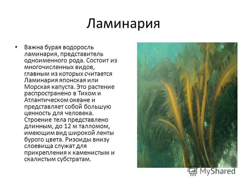 Ламинария Важна бурая водоросль ламинария, представитель одноименного рода. Состоит из многочисленных видов, главным из которых считается Ламинария японская или Морская капуста. Это растение распространено в Тихом и Атлантическом океане и представляе