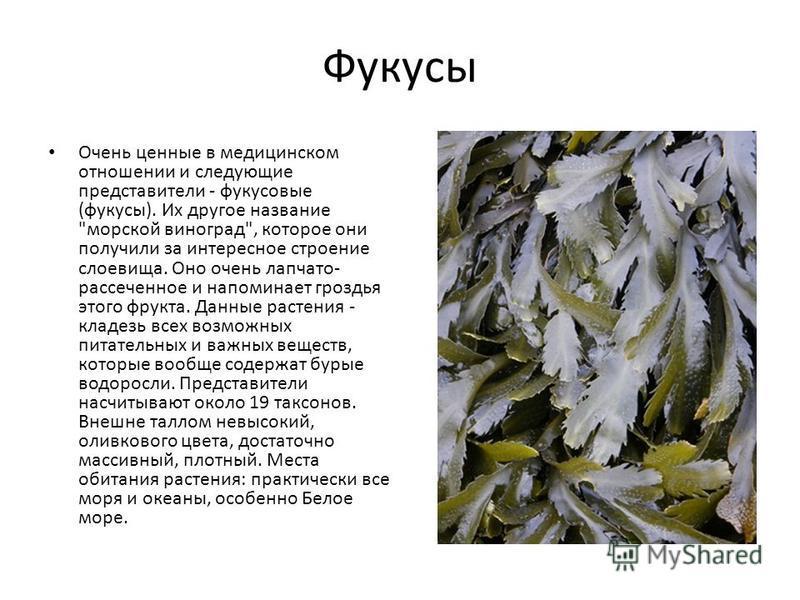 Фукусы Очень ценные в медицинском отношении и следующие представители - фукусовые (фукусы). Их другое название