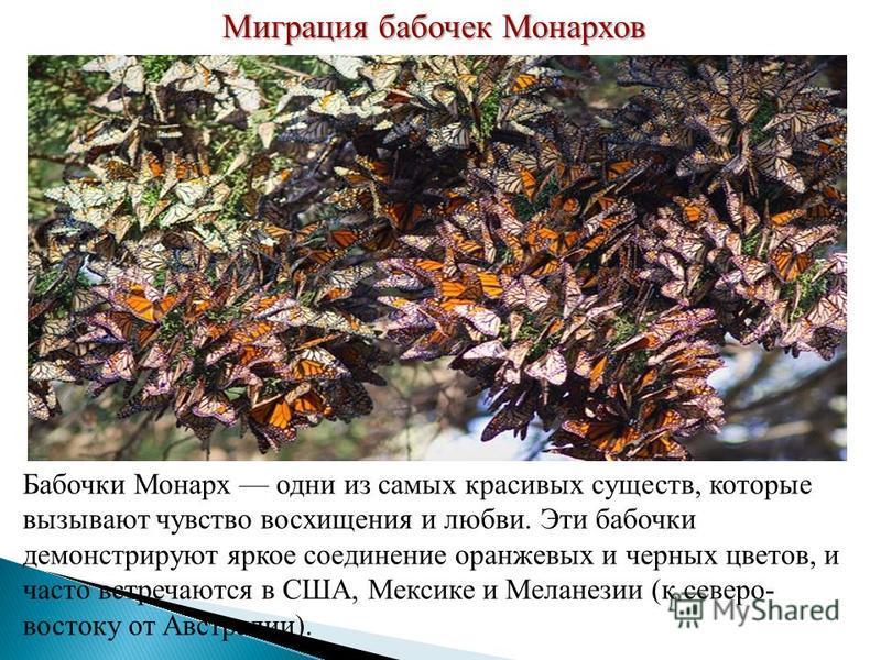Миграция бабочек Монархов Бабочки Монарх одни из самых красивых существ, которые вызывают чувство восхищения и любви. Эти бабочки демонстрируют яркое соединение оранжевых и черных цветов, и часто встречаются в США, Мексике и Меланезии (к северо- вост