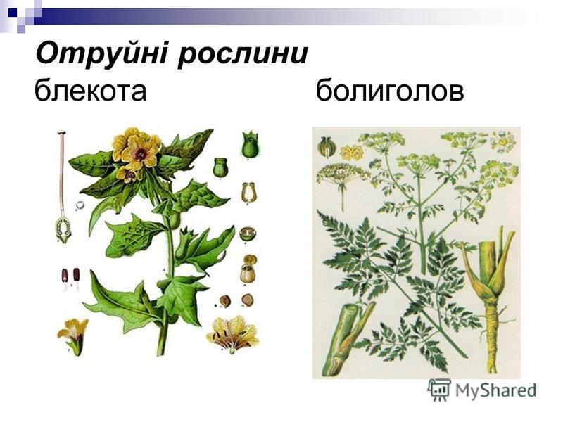 Отруйні рослини блекота болиголов
