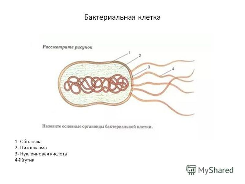 1- Оболочка 2- Цитоплазма 3- Нуклеиновая кислота 4-Жгутик