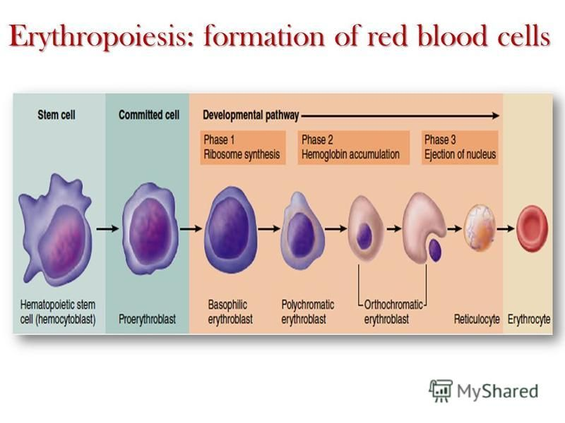Erythropoiesis: formation of red blood cells
