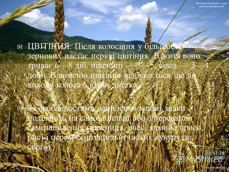 ЦВІТІННЯ. Після колосіння у більшості зернових настає період цвітіння. В жита воно триває 68 діб, пшениці 35, вівса 34 доби. В ячменю цвітіння відбувається ще до виходу колоса з піхви листка. За особливостями запилення хлібні злаки поділяють на самоз