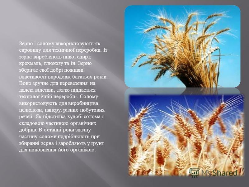 Зерно і солому використовують як сировину для технічної переробки. Із зерна виробляють пиво, спирт, крохмаль, глюкозу та ін. Зерно зберігає свої добрі поживні властивості впродовж багатьох років. Воно зручне для перевезення на далекі відстані, легко