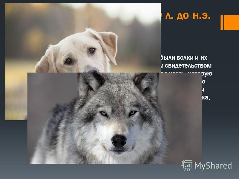 Собаки и волки. от 12000 л. до н.э. Одними из первых прирученных животных были волки и их потомки собаки. Самым ранним известным свидетельством о прирученной собаке является ее челюстная кость, которую нашли в пещере в Ираке. Она отличается от волка